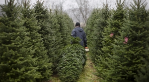Read full article: Wisconsin Christmas Tree Growers Hope For Busy Season During Pandemic
