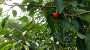 A cherry hangs on a tree in an orchards in Sister Bay