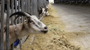 Dairy goats feed at LaClare Farms near Pipe, Wis.