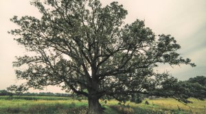 bur oak in Waukesha county