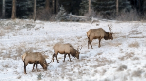 Elk bulls in late autumn Banff National Park Alberta, Canada
