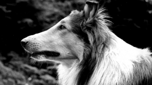 Collie Pal as Lassie