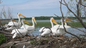 Read full article: Study: American White Pelican Continues To Expand Across Great Lakes Region