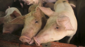 Read full article: Groups Contend County Could Face Criminal Charges For Attempts To Regulate Large Swine Farms