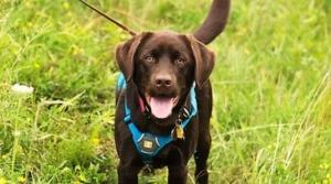 Tilia the conservation dog