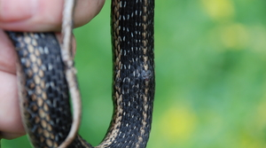 Example of snake with fungal disease