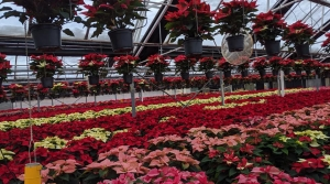 Poinsettias growing in Karthauser and Sons greenhouse in Germantown, WI