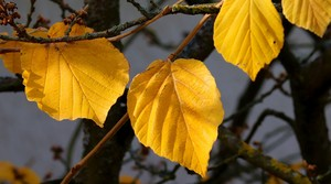 Yellow witch hazel leaves.