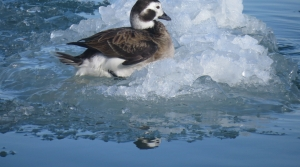 long-tailed duck on ice