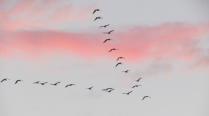 migrating birds in a rosy sky