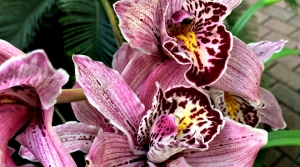 Cymbidium orchids at the Bolz Conservatory at Olbrich Gardens.