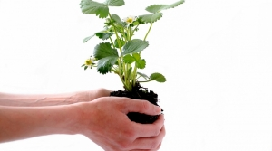 Hands holding strawberry plant.