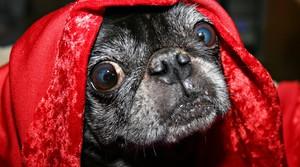 Pug hiding under a blanket.