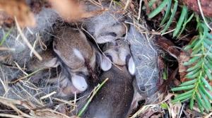 Rabbit nest with babies.