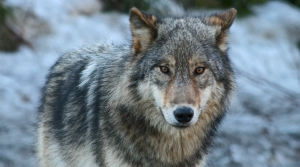 Read full article: Are High Wolf Numbers Driving Hunting Dog Attacks?