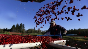 Person moving cranberries