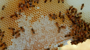Read full article: Scientists At UW-Stout Discover New Bee Disease