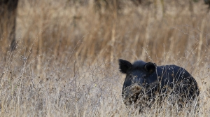 Read full article: State Asks Hunters To Help Eliminate Feral Hogs
