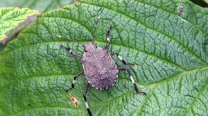 Read full article: Asian Stink Bug Has Settled In Dane County, Say Officials