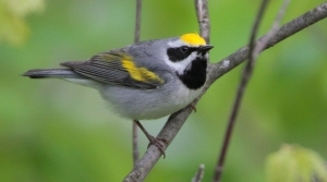 Read full article: Federal Grant Will Help Golden-Winged Warbler Conservation Efforts