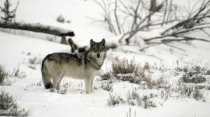 Read full article: DNR Ends Wolf Hunt After Quota Is Exceeded
