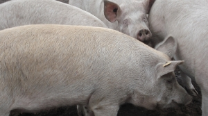 Read full article: Bayfield County Explores Possibility Of Permitting Its First CAFO