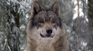 Read full article: Further Wolf Hunting In Wisconsin Is Banned Following Federal Court Ruling