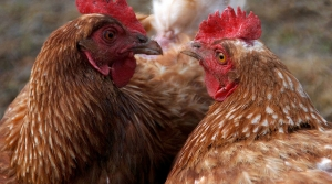 Read full article: Discovery Of Bird Flu In Central Wisconsin Leaves Poultry Industry Nervous