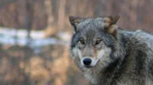 Read full article: Wolf Kill Total, Climbing At Rapid Rate, Is Now At 116