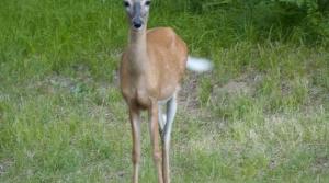 Read full article: Walker Dismisses Criticism Of His Handling Of CWD Among Wisconsin's Deer Herd