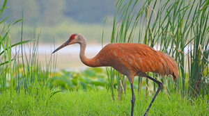 Read full article: Conservation Hearings Will Broach Topic Of Sandhill Crane Hunting