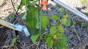 Read full article: Stevens Point Grape Research Looking At Possible Health Benefits
