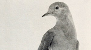Read full article: Wausau Art Museum Remembers the Passenger Pigeon