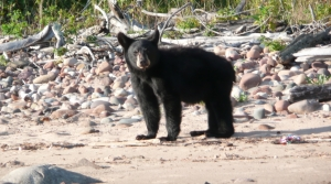 Read full article: State Agencies Expect Record Bear Hunting Season