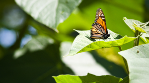 Read full article: Conservation Groups Plan Suit Over Monarch Butterfly Protection
