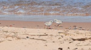 Read full article: Wildlife Officials Plan To Limit Beach Access To Welcome Endangered Birds