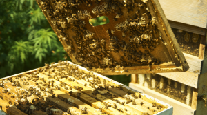 Read full article: Wisconsin Sees Large Bee Colony Loss