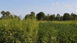 Read full article: Herbicide-Resistant Weeds Increasing In Wisconsin, Researchers Warn