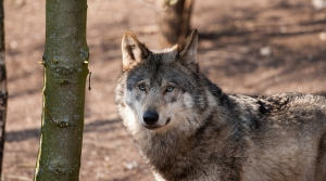 Read full article: Scientists Sound Off Over Gray Wolf Hunting