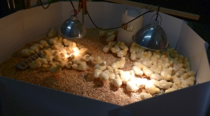 Read full article: High School Takes Its Farming Program To Next Level By Raising Chickens