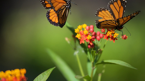 two monarch butterflies and milkweed