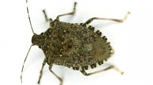 Read full article: Can Biological Control Take A Bite Out Of Brown Marmorated Stink Bug?