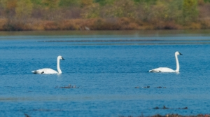 Trumpeter swans swim in Lily Lake, a Wisconsin State Natural Area