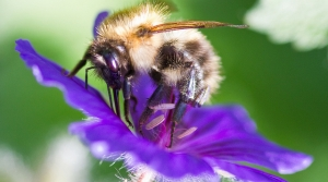 bumble bee on a petal