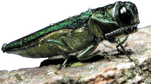 EAB, photo by U.S. Department of Agriculture via Wikimedia Commons