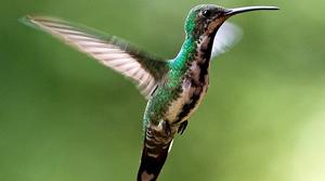 Green breasted mango hummingbird, Kathy & sam (CC-BY)