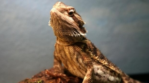 bearded dragon, Richard Elzey (CC-BY)