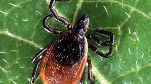 deer tick, image courtesy of the US Department of Agriculture