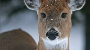 Read full article: Deer Farm Herd With Chronic Wasting Disease Put Down