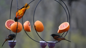 Baltimore orioles on a feeder